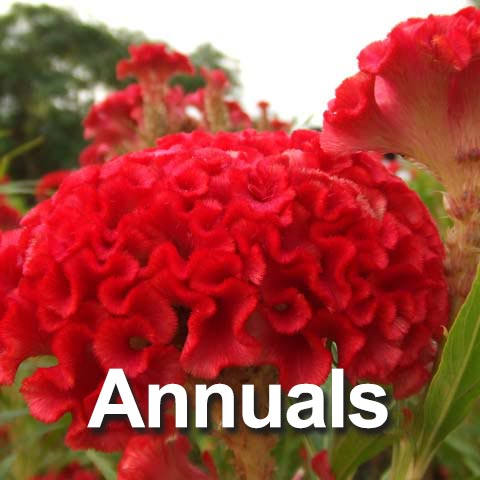 Best Annuals for the Big Country