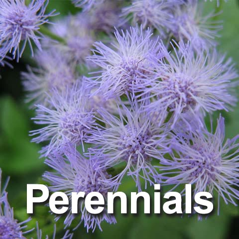 Best Perennials for the Big Country