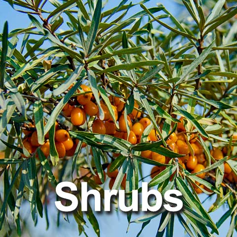 Best Shrubs for the Big Country
